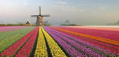 tulips garden care Tulip fields of Holland: The Netherlands Tulip Fields Netherlands, Amsterdam Netherlands, The Netherlands, Places Around The World, Around The Worlds, Beautiful Places In The World, Tulips Holland, Amsterdam Tulips, Tulip Garden Amsterdam