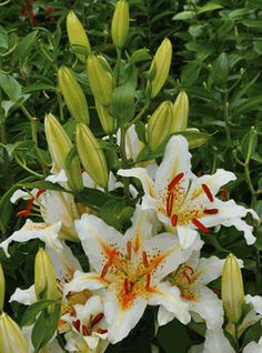 'Obsession' - Oriental Hybrid Lily Bulb Lilium Martagon, Lilly Flower, Lily Bulbs, Oriental Lily, Asiatic Lilies, Flower Quilts, Unusual Plants, Planting Flowers, Flower Gardening