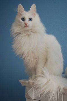 The Angora is among the oldest-known breeds and contributed to the growth of the Persian. The Turkish Angora is normally a medium sized cat. Turkish Angora Cat, Angora Cats, Types Of Wild Cats, Kittens Cutest, Cats And Kittens, Low Maintenance Pets, Long Haired Cats, Maine Coon Cats, White Cats