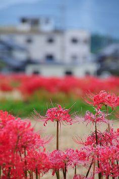 彼岸花 higanbana
