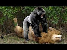 incredible LEOPARD vs Human Real Fight ►► Lion Attack Leopard #2 Tiger VS Crocodile KILLS GIRAFF - YouTube