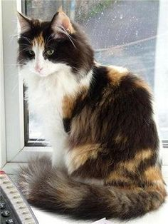 Calico Norwegian Forest Cat - looks like my little Callie girl. Did you know cal. Calico Norwegian Forest Cat - looks li. Pretty Cats, Beautiful Cats, Animals Beautiful, Cute Animals, Pretty Kitty, Beautiful Pictures, Kittens Cutest, Cats And Kittens, Cute Cats