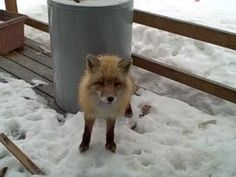 """What is happening. """"An eagle, a fox and my cat all getting along fine on my porch"""""""