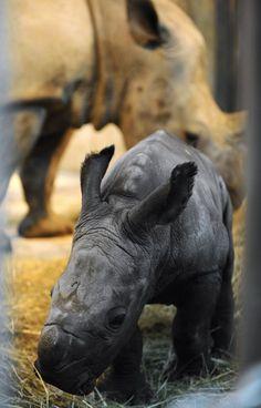 Shango, rinoceronte branco bebê é retratado ao lado de sua mãe no Parque Zoológico da cidade francesa de Amneville. Foto: Jean-Christophe Verhaegen/AFP