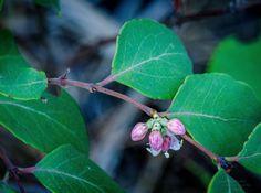 https://flic.kr/p/KR47sw | 20160806-Snowberry? | #dakota #wildflower #BlackHills #SouthDakota