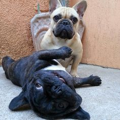 """What?... We ain't doin nothin"", funny French Bulldogs"