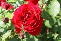 Babsie Voster - Ludwigs Roses | A powerful crimson red floribunda. Clusters of medium sized 25 petalled blooms are borne on basals as well as sprouting from the mature wood. This means equally good responding after severe or light pruning. The latter resulting in the formation of a formidable dense, neat shrub between 1.5 or 2m in height & width. It keeps on flowering with a minimum of care.