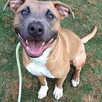 Dallas, Georgia - Pit Bull Terrier. Meet Mio, a for adoption. https://www.adoptapet.com/pet/12935607-dallas-georgia-pit-bull-terrier