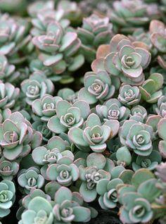 "Sedum ewersii ~ grows to 3"" high and 12"" wide : USDA zones 4-10 : pink blooms : origin - Himalayas."