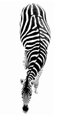 Classy Photography, Zebras, Logos, Animal Print Rug, Stripes, Black And White, Nature, People, Animals