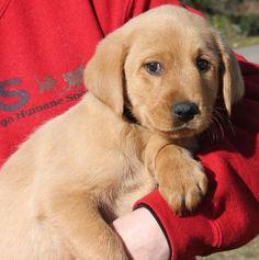 Major ~ Labrador Retriever Pup ~ Classic Look