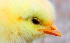 Open Your Eyes: sono un pulcino, e... Cosa succede ai pulcini maschi quando le uova si schiudono all'interno di un allevamento? Scopritelo leggendo l'ultimo articolo del progetto #OpenYourEyes, dove seguirete la sua (brevissima) vita, vi #pulcini #animali #crudeltà #vegano #uova