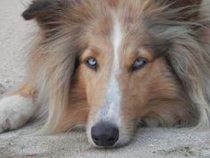 Blue eyed collie