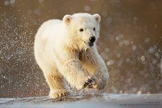 Siku - Polar bear cub in Scandinavian Wildlife Park