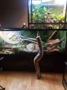 Setup Chinese Water Dragon, Reptiles, Aquarium, Ideas, Goldfish Bowl, Aquarium Fish Tank, Aquarius, Thoughts, Fish Tank