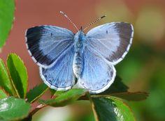 Holly Blue - female