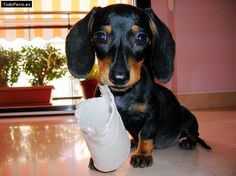 Doxies can make a toy out of anything! stinkin ADORABLE.