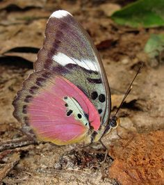 Common Pink Forester, (Euphaedra xypete), found in Guinea-Bissau, Guinea, Sierra Leone, Liberia, Ivory Coast, Ghana, Togo, Nigeria and western Cameroon. Its habitat consists of forests.