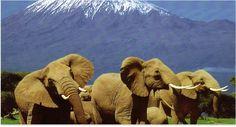 Climbing kilimanjaro,travel deals, africa tours and Tanzania wildlife safari itineraries, Mount Kilimanjaro is award winning travel attraction Africa and natural wonder Kenya Africa, East Africa, Kenya Nairobi, Kenya Travel, Africa Travel, African Elephant, African Safari, African Animals, Tanzania