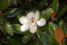 Magnolia grandiflora. Southern Magnolia Zones 6-10