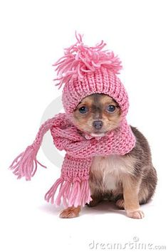 Chihuahua in Winter Clothes. Funnily Dressed Glamour Chihuahua for Cold Weather , Cute Chihuahua, Chihuahua Puppies, Cute Puppies, Cute Dogs, Chihuahuas, Yorkie, Little Dogs, Baby Animals, Cute Animals