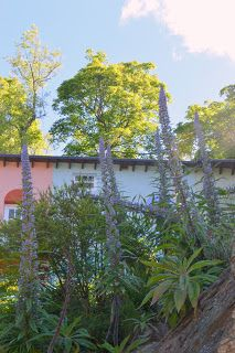 the blackberry garden: The Portmeirion Echiums