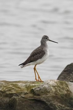 the greater yellowlegs - tringa melanoleuca, is a large north american shorebird. their breeding habitat is bogs and marshes in the boreal forest region of canada and alaska. from emuwren