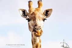 A giraffe is so much a lady that one refrains from thinking of her legs but remembers her as floating over the plains in long garb draperies of morning mist her mirage.  Isak Dinesen  #bushlife #gameviewing #wildlifephotography #wildlifephoto #wildlife #natural #naturephotography #naturepics #natgeophotos #natgeo #natgeoyourshot #wildlifepics #wildlifeshots #canon_photo #canonphotography #photobug #photographer #photography #wildlifephotographer #thisissouthafrica #southafricaza #instagramza…