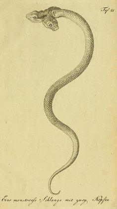 From Herrn de la Cepede's Naturgeschichte der Amphibien, century. Reptiles, Tumblr Tattoo, Occult Art, Desenho Tattoo, Snake Tattoo, Medieval Art, Dark Art, Oeuvre D'art, Tattoo Inspiration