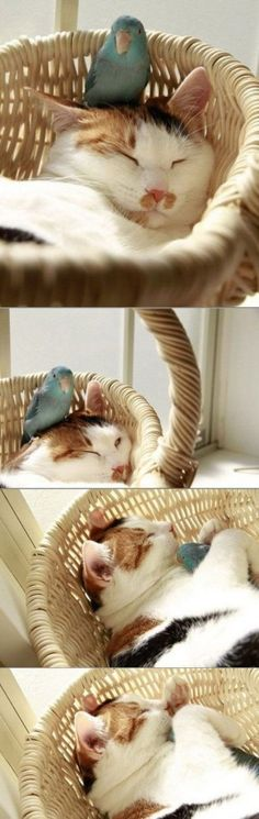 Cat and bird sleeping together -- so sweet!