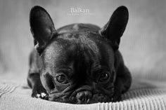 Résultats Google Recherche d'images correspondant à http://true-dog.fr/wp-content/uploads/2011/02/balkan-bouledogue-francais-true-dogs-aurelie-di-pietro.jpg