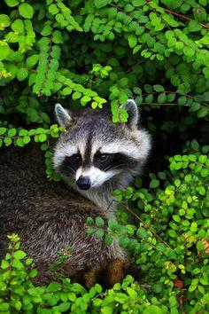 "Raccoon / Photo ""Bandit"" by Paul Manning @500px.com"