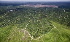 The future of palm oil: can it be sustainable? - live chat | Guardian Sustainable Business | The Guardian
