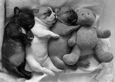 Bulldog puppies sleeping