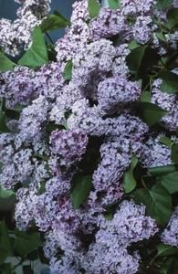 Good suggestions for using lilac bushes after the blooms have passed.  Add plants to complement your prized lilacs.