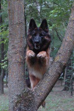 German shepherd jumping through a tree! Love this pic