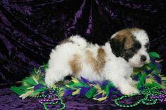 Teddy_Bear puppy for sale boca raton fl