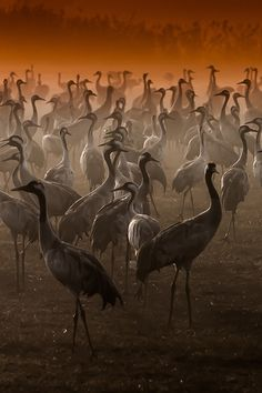 ♂ Wild life photography birds Cranes by Shlomi Arditi