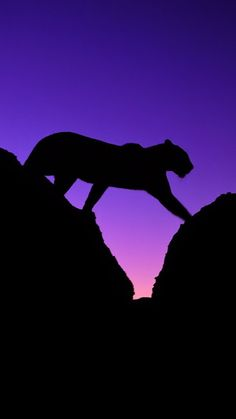 Purple and Black - Tiger Silhouette Beautiful Cats, Animals Beautiful, Cute Animals, Big Cats, Cats And Kittens, African Leopard, Gato Grande, Mountain Lion, Belle Photo