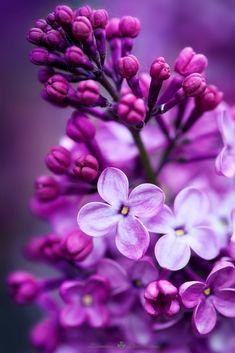 phone wallpaper purple Purple Lilac by Ccile MARTIN - Photo 70433457 / Types Of Purple Flowers, Purple Flower Bouquet, Purple Flower Arrangements, Lilac Flowers, Purple Lilac, Flowers Nature, Flower Bouquet Wedding, Beautiful Flowers, Deep Purple