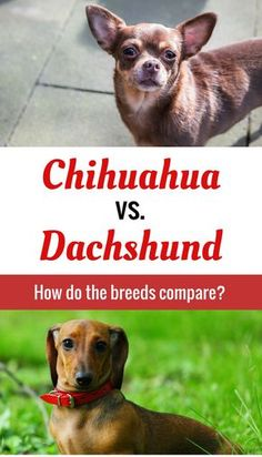 How does the Chihuahua compare to the Dachshund? The answers will surprise you!
