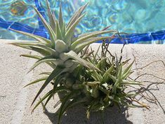 Tillandsia ionantha v. ionantha is one of the easiest to grow. These Exotic Tropical Plants are an easy care plant that grows well most anywhere. Epiphyte, Vanda Orchids, Easy Care Plants, Home Garden Plants, Planting Seeds, Live Plants, Tropical Plants, Purple Flowers, Outdoor Gardens