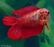 Image result for betta
