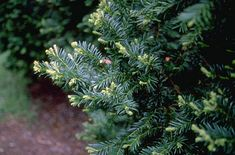 Taxus baccata Common Yew Hedge for screening
