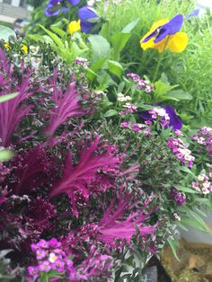 Kale and pansies