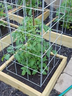 The Most Reliable Tomato Cages Trellises Tomato cage Storms and
