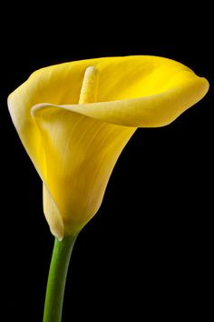 Yellow Photograph - Yellow Calla Lily by Garry Gay Exotic Flowers, Amazing Flowers, Beautiful Flowers, Elegant Flowers, Calla Lily Flowers, Calla Lillies, Lily Painting, Flower Wallpaper, Apple Wallpaper