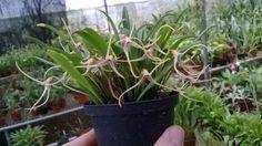 Masdevallia lilacina