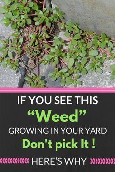 """IF YOU SEE THIS """"WEED"""" GROWING IN YOUR YARD, DON'T PICK IT! HERE'S WHY…!~~"""