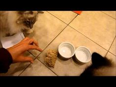 Ragdoll Cats Charlie and Trigg Receive Orijen Cat Treats to Try from Chewy.com - ラグドール - Floppycats - YouTube